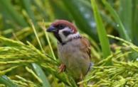 Cara Ampuh Mengusir Hama Burung Padi Sawah