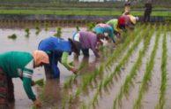 Musim Hujan Datang, Petani Siap untuk Menanam Padi