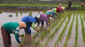 Anggaran Pertanian 50 T Setahun
