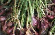 Ameliorasi Tingkatkan Produksi Bawang Merah di Lahan Pasir Pantai