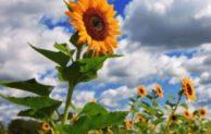 Cara Menanam Bunga Matahari di Lahan Sempit