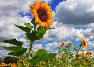 Ternyata, Bunga Matahari Selalu Menghadap ke Arah Matahari Karena Ini