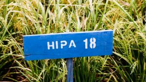 Padi Hibrida Hipa 18