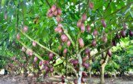 Cara Pemangkasan Tanaman Kakao