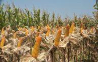 Tanam Jagung Sejuta Hektar di tengah Kebun Sawit