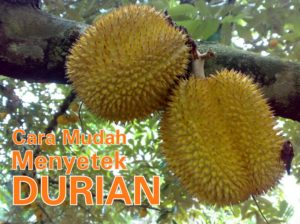 Cara Mudah Menyetek Durian, Pasti Tumbuh