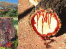 Bloodwood, Pohon Berdarah dari Afrika