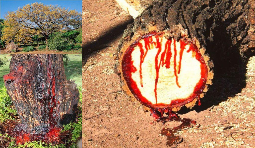 Bloodwood, Pohon Jati Berdarah dari Afrika