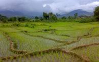 Mengenal Padi Tadah Hujan Indonesia