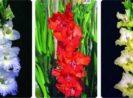 Cara Menanam Bunga Gladiol Cepat Berbunga