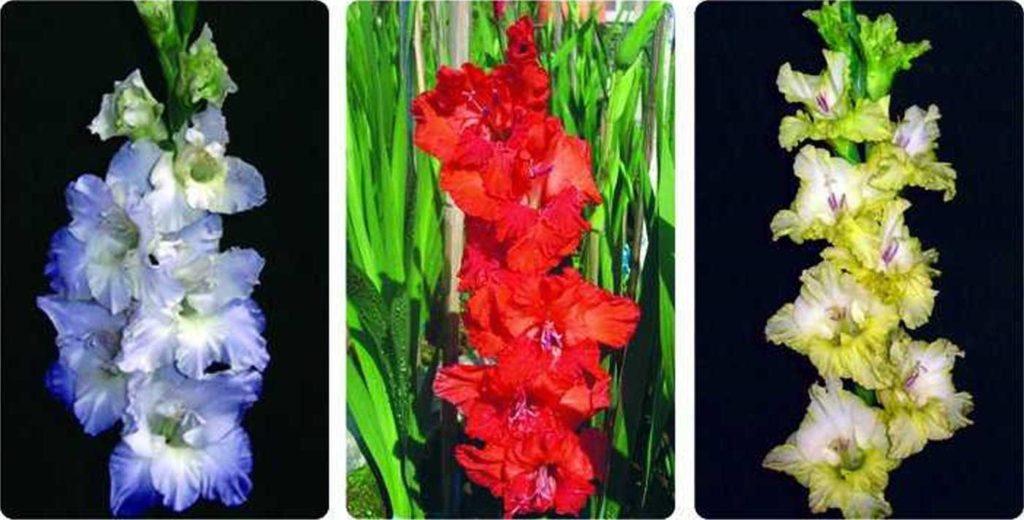 budidaya bunga gladiol