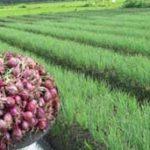 Budidaya Bawang Merah Off Season di Luar Musim