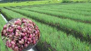 Budidaya Bawang Merah Off Season Hasil Tinggi