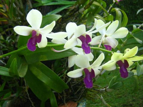 Cara Budidaya Anggrek Dendrobium