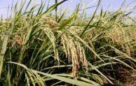 Inpari 42 GSR dan Inpari 43 GSR, Varietas Padi Green Super Rice